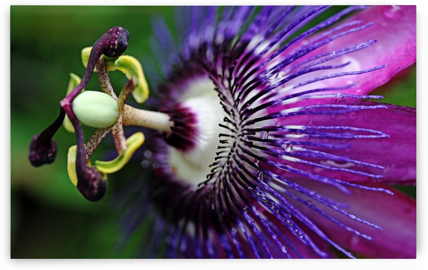 Passion Flower In Purple by Deb Oppermann