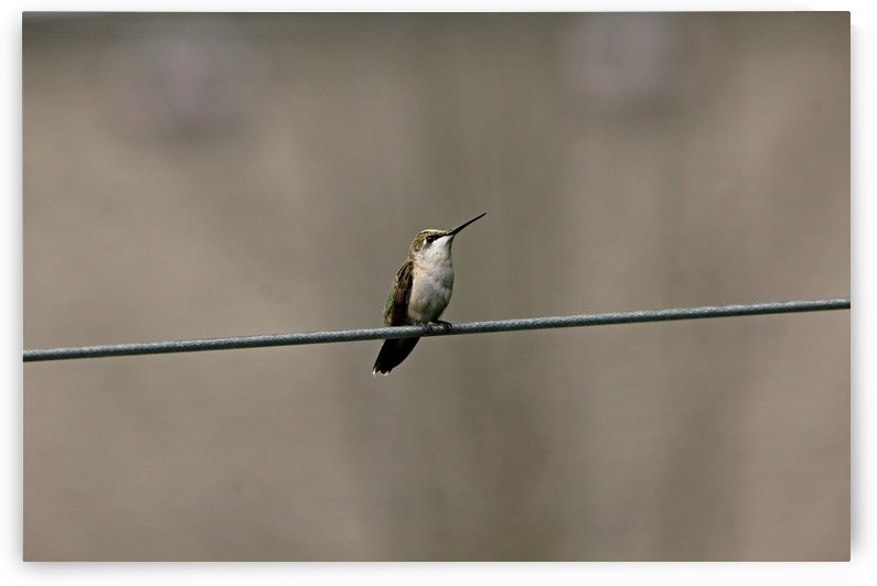 Hummingbird On The Line by Deb Oppermann