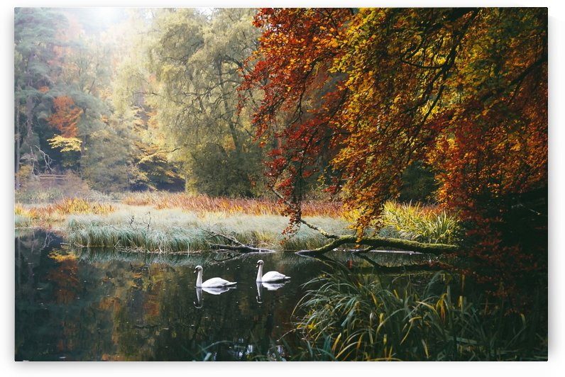 Swans of Faskally by The Auld Romantics