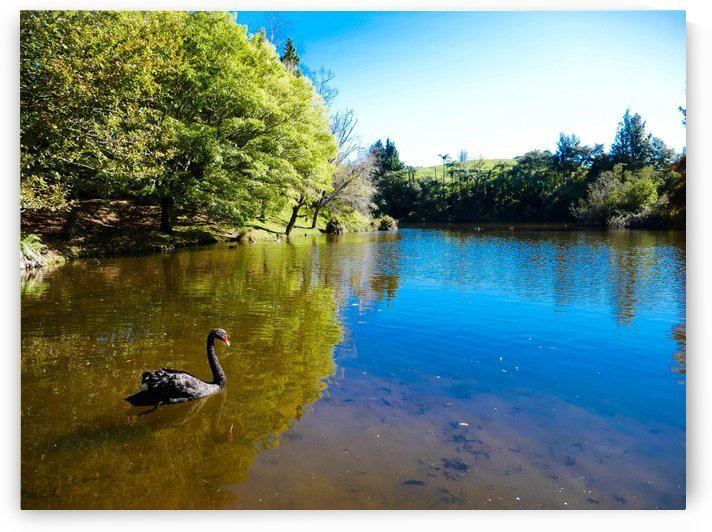 Swan Swimming by Suzanne Atkin