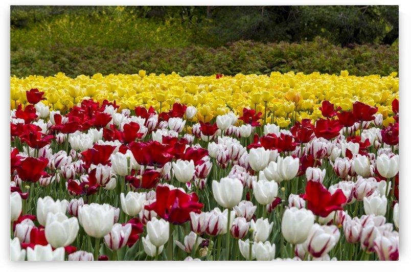 Tulip Bed 16 by Bob Corson