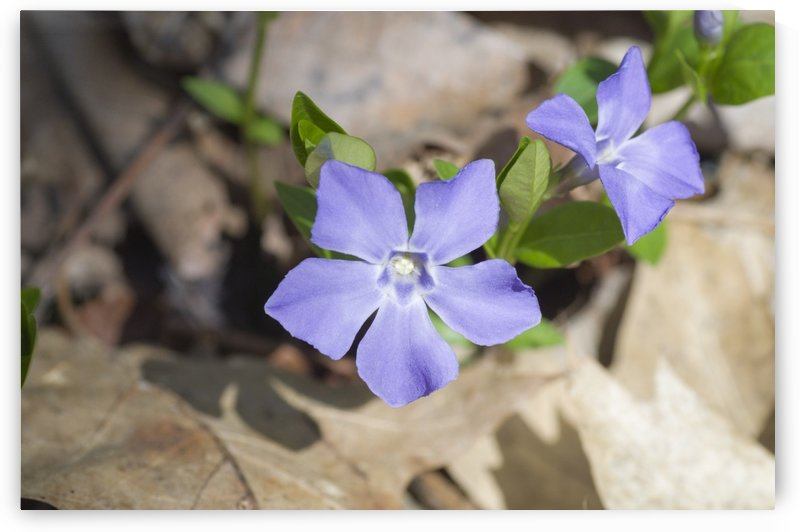 Periwinkle or Creeping Myrtle by Bob Corson
