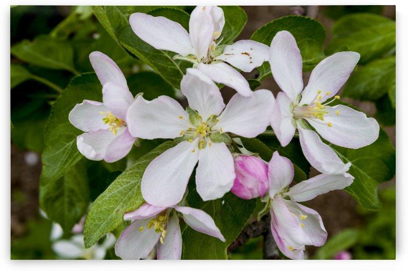 Apple Blossoms 3 by Bob Corson