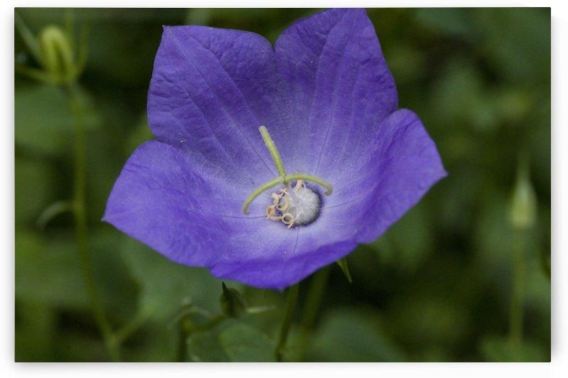 Purple Baloon Flower by Bob Corson
