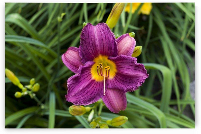 Purple Stealla Doro Day Lily by Bob Corson