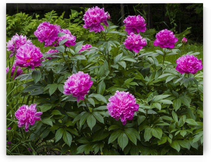Pink Peony Bush by Bob Corson