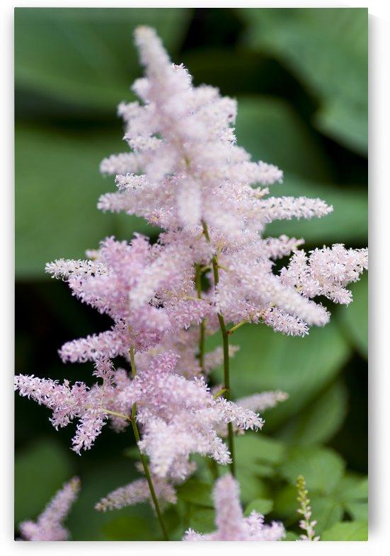 Pink Astilbe 2 by Bob Corson