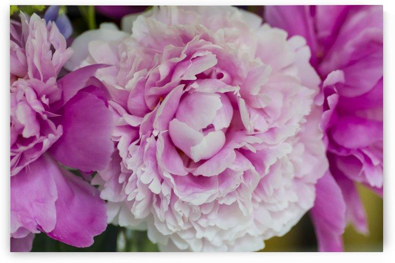 Pink Peony Blossoms by Bob Corson