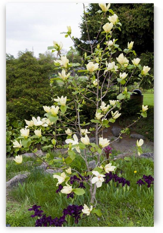 Flowering Dogwood by Bob Corson