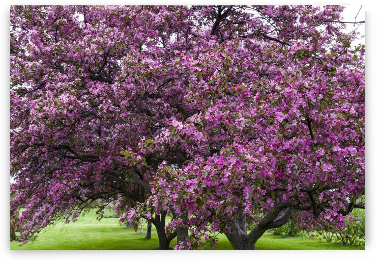 Blooming Crab Apple Trees by Bob Corson