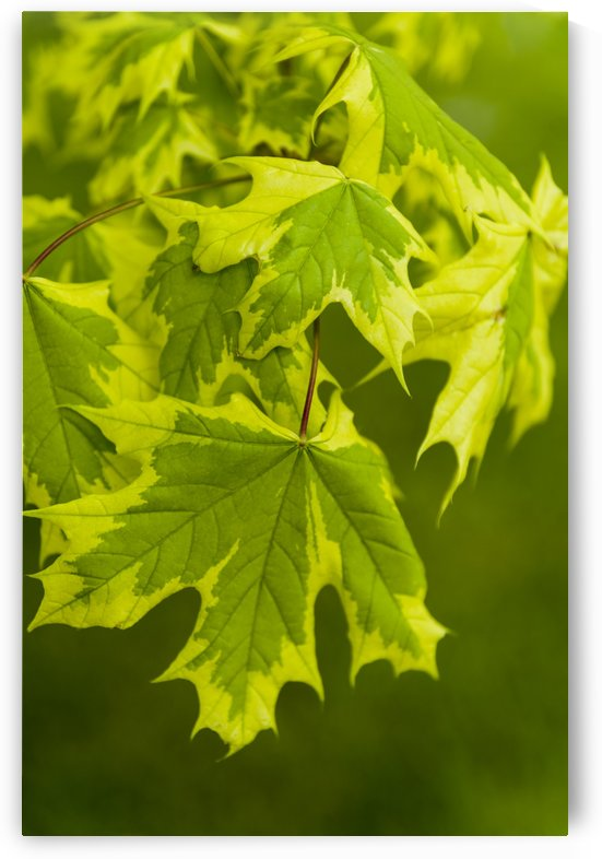 Norway Maple Leaf by Bob Corson