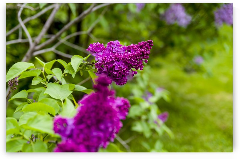Purple Lilac by Bob Corson