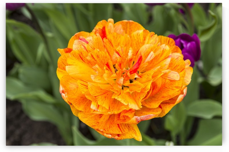 Frilly Tulip 2 by Bob Corson