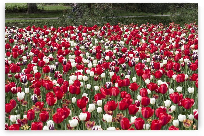 Tulip Bed by Bob Corson