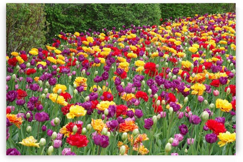 Ottawa Tulip Festival 1 by Bob Corson