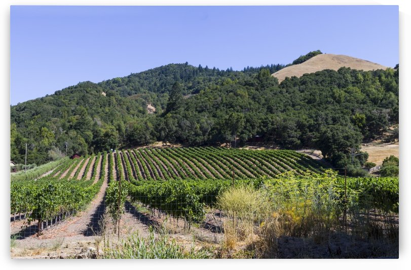 Vineyard outside Santa Rosa California by Bob Corson