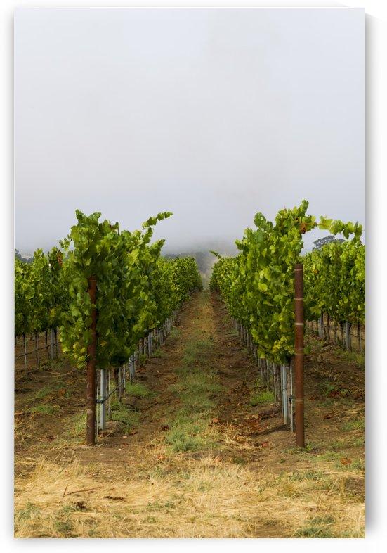 Foggy morning at the vineyard 4 by Bob Corson