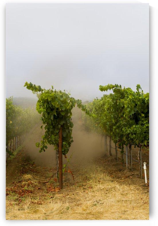 Foggy morning at the vineyard 3 by Bob Corson