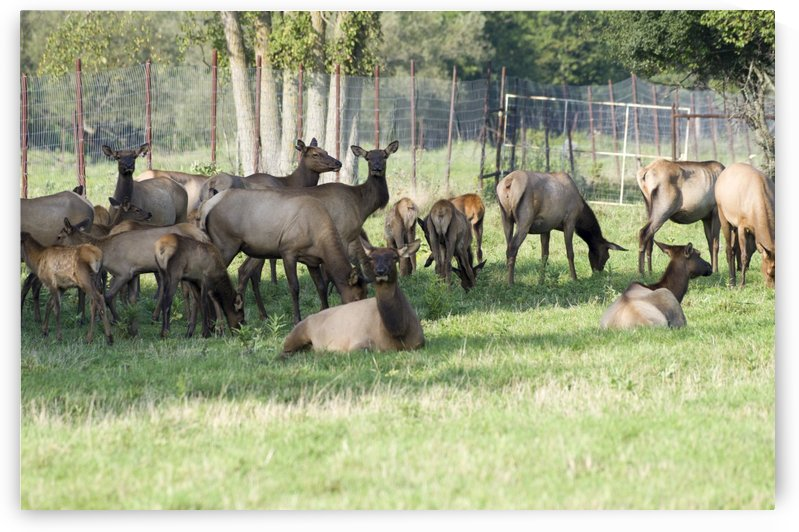 Elk Red Tailed Deer or Wapiti 11 by Bob Corson
