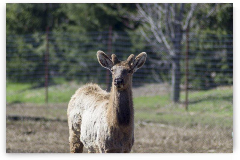 Elk Portrait 3 by Bob Corson