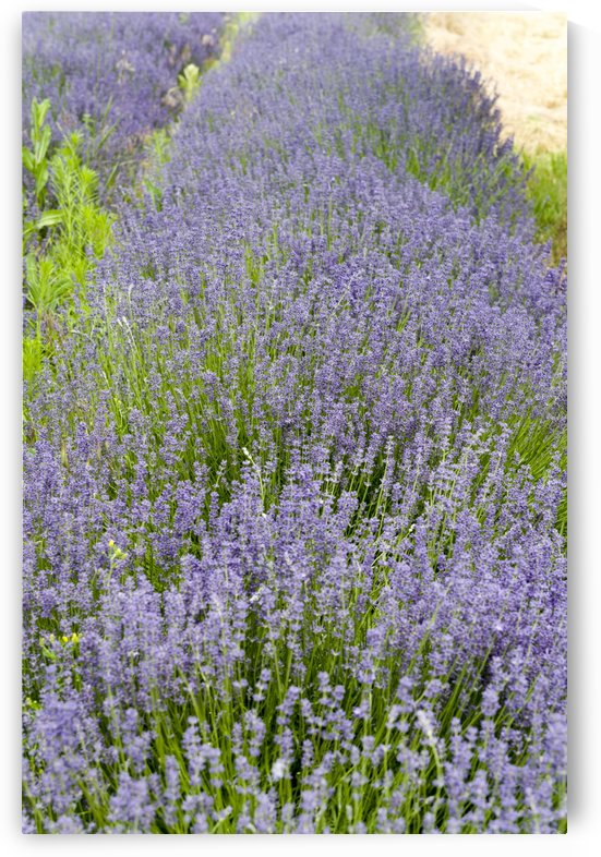 Lavender plants 7 by Bob Corson