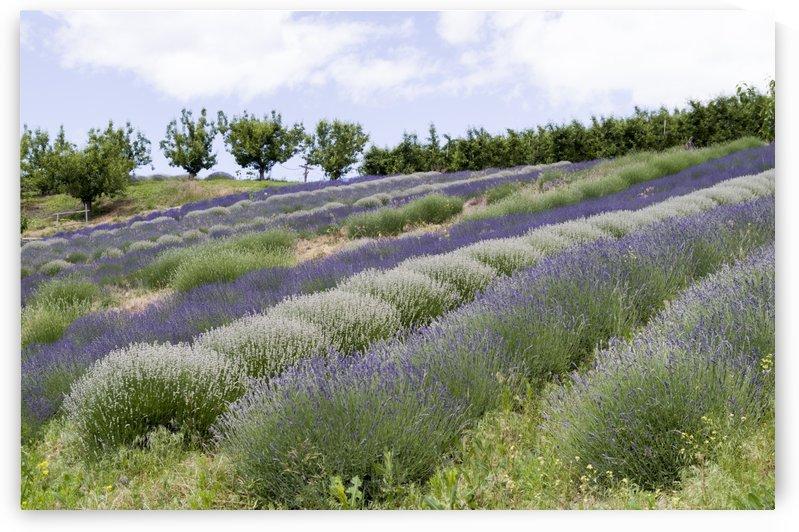 Lavender plants 4 by Bob Corson