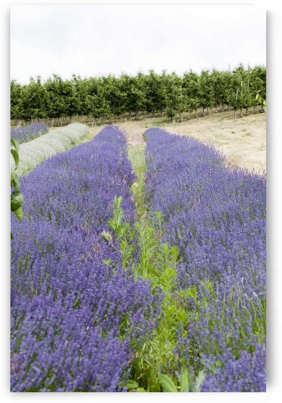 Lavender plants and fruit trees 6 by Bob Corson