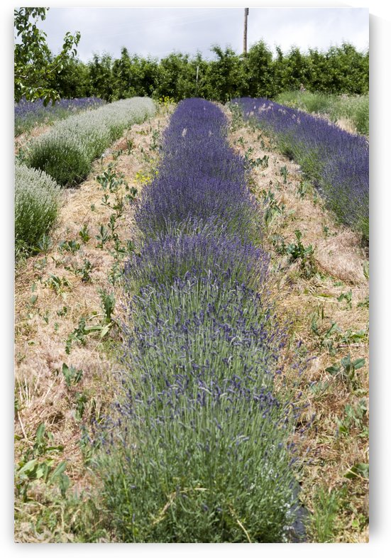 Lavender plants 2 by Bob Corson