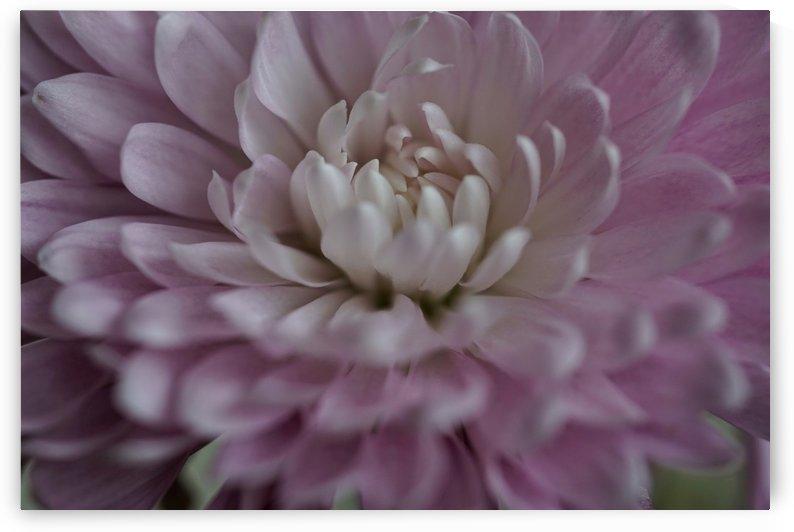 Chrysanthemum macro by PedroVit