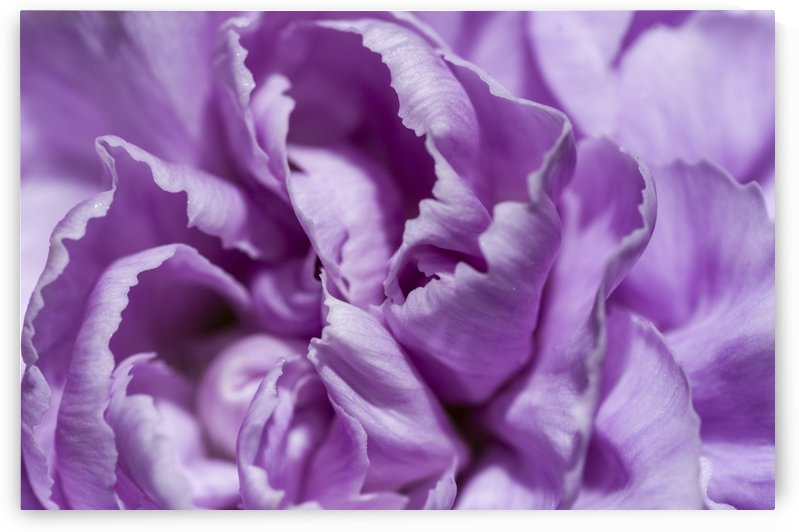 Purple Carnation by Bob Corson