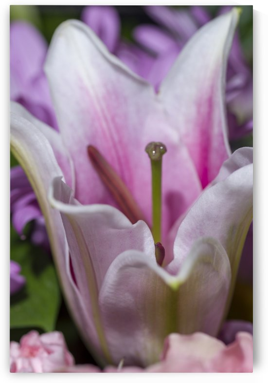 Pink and White Lily Blossom by Bob Corson