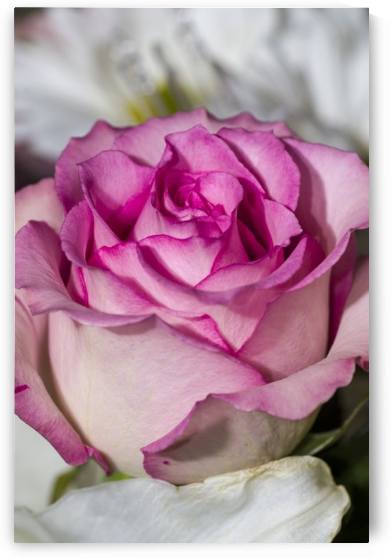 Pink and Cream Rose by Bob Corson