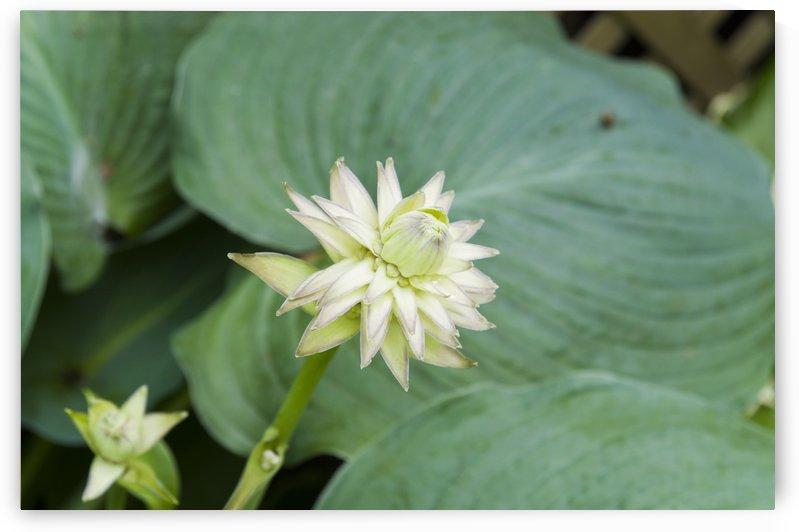 Hosta Bloom 1 by Bob Corson
