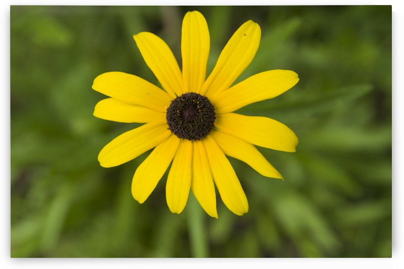 Black eyed Susan-Ox-eye daisy by Bob Corson
