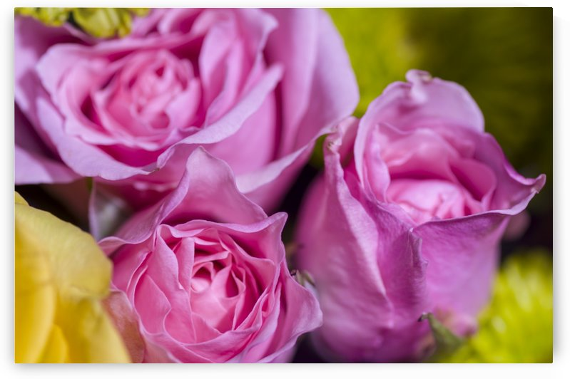 Pink Sweetheart Roses 2 by Bob Corson