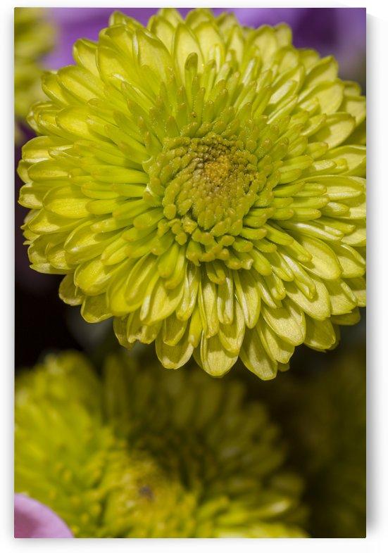 Yellow Mum by Bob Corson