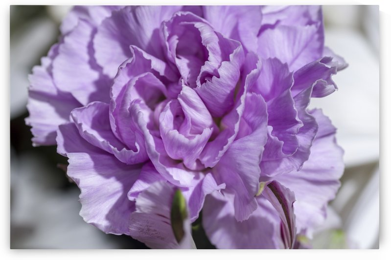 Purple Carnation 1 by Bob Corson