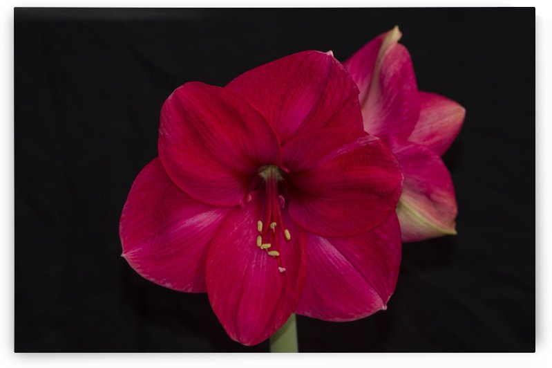 Red Amaryllis Flower 2 by Bob Corson