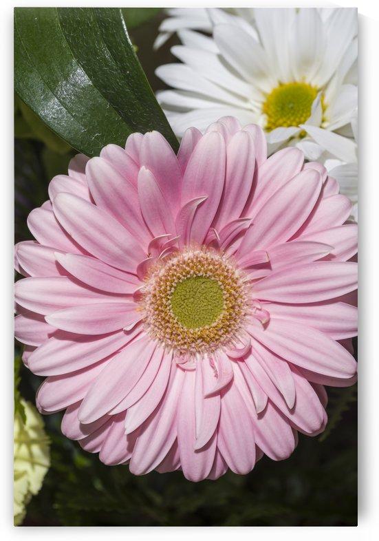 Gerbera Daisy by Bob Corson