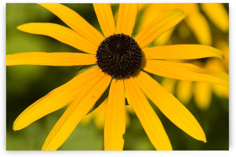 Brown eyed Susan Flower 2 by Bob Corson