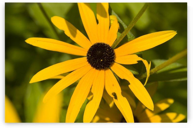 Brown eyed Susan Flower 2 by Bob Corson