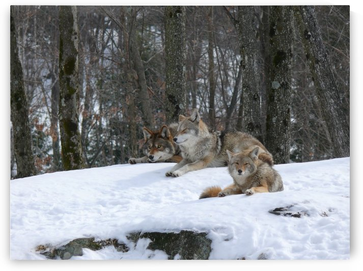 Coyotes Taking in some sun by Bob Corson