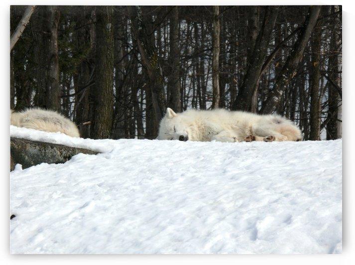 Napping Arctic wolves by Bob Corson