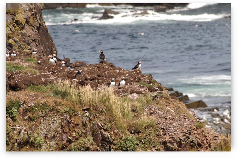 Puffins being puffins 15 by Bob Corson