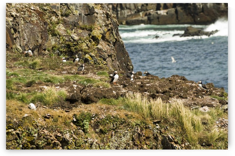 Puffins being puffins 9 by Bob Corson
