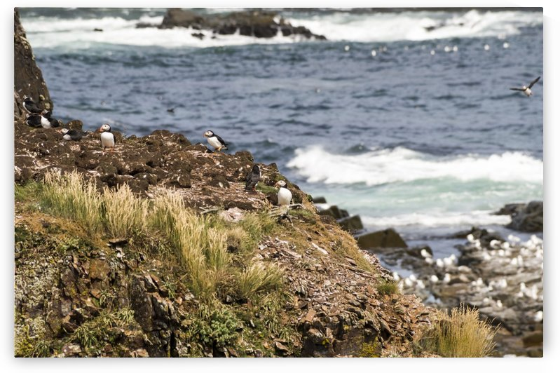 Puffins being puffins 14 by Bob Corson