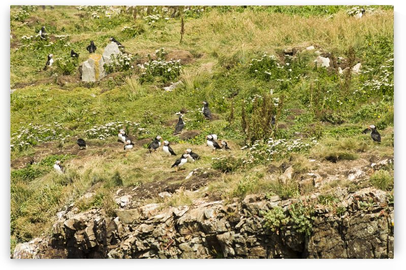 Puffins being puffins 8 by Bob Corson