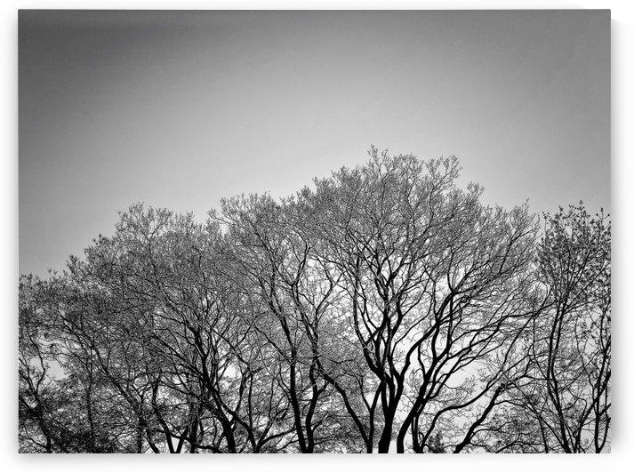 Treetops bnw by PedroVit