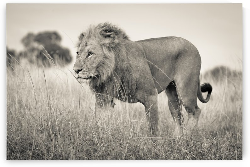 Proud King - 2 by JADUPONT PHOTO