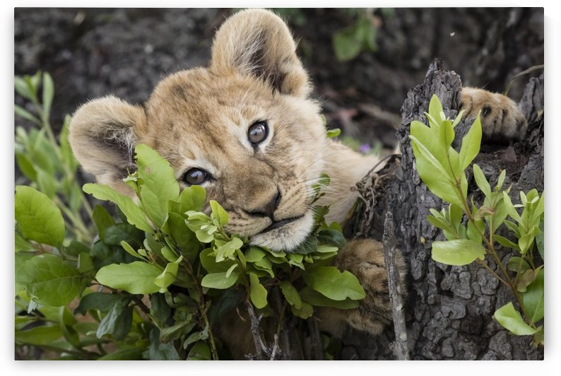 Lion Cub by JADUPONT PHOTO